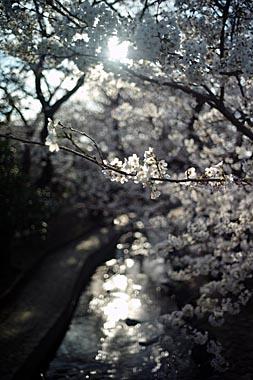 Sakura4_20140330