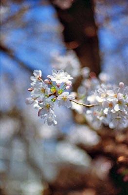 Sakura1_20210325