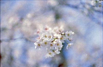 Sakura2_20210325