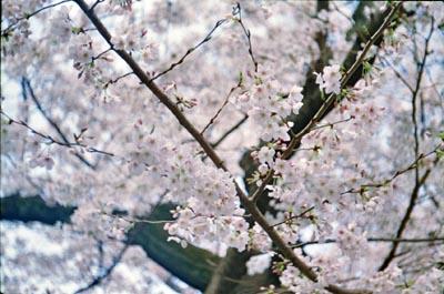 Sakura3_20210325