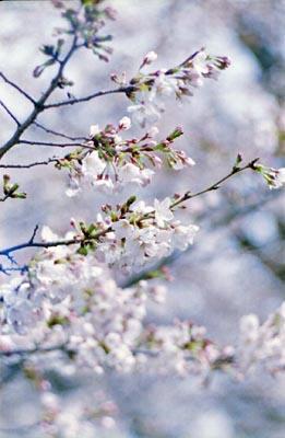Sakura5_20210325